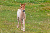 Brown Horse Foal in a Green Field of Grass. — Stock Photo