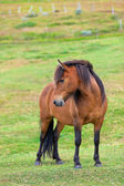 Brown Horse in a Green Field of Grass — Stock Photo