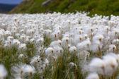 Erba di cotone artico in islanda — Foto Stock