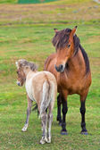 Brown Horse and Her Foal in a Green Field of Grass — Stock Photo