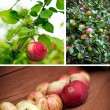 Apple Garden Collage — Stock Photo