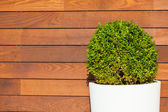 Round Bush in front of Wooden Wall — Stock Photo