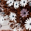 Osteospermum flowerbed — Stock Photo