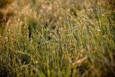 雨滴と緑の芝生 — ストック写真