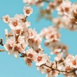 Pink Flowers Blooming Peach Tree at Spring — Stock Photo #41115143