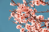 Pink Flowers Blooming Peach Tree at Spring — Stock Photo