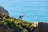 Stork  on a Cliff at Western Coast of Portugal — Foto Stock