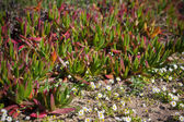 Succulent Plants and Daisies Closeup at Portugal Ocean Coast — Stock Photo