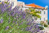 Lavender Bush at Town Street — Stockfoto