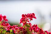 Red Geranium Flowers against Sunlight — Stock Photo