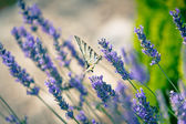 Butterfly at Lavender Bush — Stock Photo
