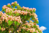 Pink Blossom Acacia Tree Brunches — Stock Photo