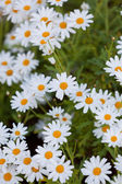 Blooming Camomile flowers at flowerbed — Stockfoto