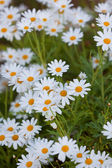 Blooming Camomile flowers at flowerbed — Stock Photo