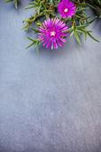 Lampranthus (buz fabrikası) çiçekler gri taş zemin üzerine — Stok fotoğraf