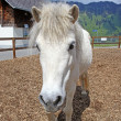 Funny white horse in Swiss Alps at summertime — Stock Photo #12728532