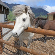 Funny white horse in Swiss Alps at summertime — Stock Photo #12728567