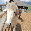 Funny white horse in Swiss Alps at summertime — Stock Photo #12728570