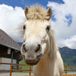 Funny white horse  in Swiss Alps at summertime — Stock fotografie