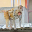 India, Rajasthan, Jaipur, indian monkeys - Foto Stock