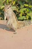Eating chipmunk (feeding with hands). Agra, India — Stockfoto