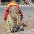 Camel Festival in Bikaner, India - Stock Photo