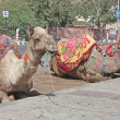 Camel Festival in Bikaner, India — Stock Photo