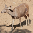 Funny deer taken in Zoo, Jaipur, Rajastan, India - Foto de Stock  