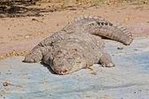 Alligator in the Jaipur Zoo, India — Stock Photo