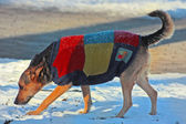 Dog in winter clothes — Stock Photo