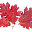 Stock Photo: Red autumn leaf oak isolated on white background