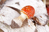 Toadstool in the birch forest (Amanita muscaria) — Stock Photo