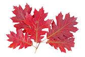 Red autumn leaf oak isolated on white background — Stock Photo