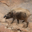 Stock Photo: Boar