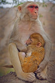 Indian monkey — Stock Photo