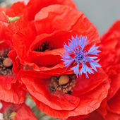 Blue cornflower with red poppies — Stock Photo