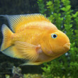 Golden Gourami with whiskers ,extended in aquarium with background plant  — Stock Photo