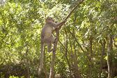 Funny monkey taken in Peruyar Wildlife sanctuary, Kerala, India — Stock Photo