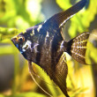 Green beautiful planted tropical freshwater aquarium with fish pterophyllum scalare — Stock Photo #27041763
