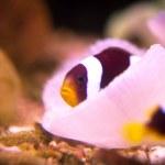 Maldive anemonefish in anemone — Stock Photo #27041811