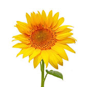 Sunflower, isolated on a white background — Stock Photo