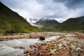 Коровы в горах — Стоковое фото