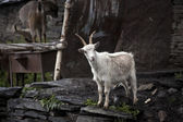 Goat in Ushgul — Stock Photo