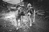 Funny sheep dogs — Foto Stock