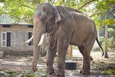 印度大象 — 图库照片