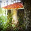 Toadstool in forest — Stock Photo #36931529