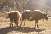 Yak in Himalaya — Stockfoto