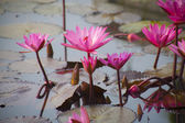Lotuses texture — Stock Photo