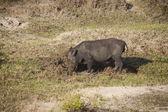 Wild Boar — Stockfoto