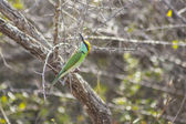 Green bee-eater perched — Photo